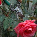 pruning rose tree
