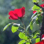climbing rose tree