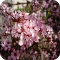 flowering-plum-prunus-triloba