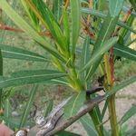 oleander-cutting