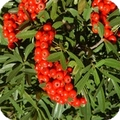 Fire thorn, pyracantha