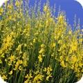 yellow broom on blue sky