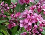 spiraea-japonica