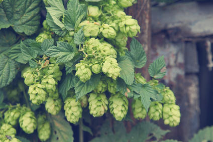 Hops, easy to grow in the garden