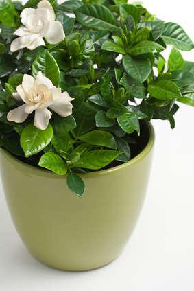 Gardenia Jasminoides In Flower Pot