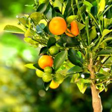 Citrus mitis, the dwarf orange tree