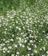 gypsophila flower