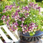 potted nemesia