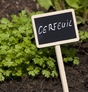Chervil, a delicious herb