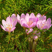 Colchicum, a flower to rediscover