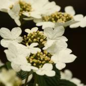 Climbing hydrangea, perfect for shade