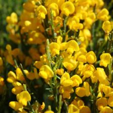 Cytisus, the French broom