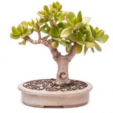 Jade tree, Crassula ovata
