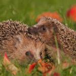 attract hedgehog