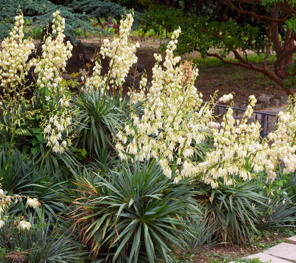 Outdoor Yucca Plant Care.Outdoor Yucca Care And Watering