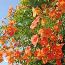 Hummingbird vine, Virginia jasmine