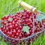 Currant bush and fruits