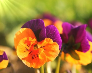 Viola cornuta, ideal for flower beds and garden boxes