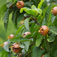 Medlar, a fruit tree to rediscover