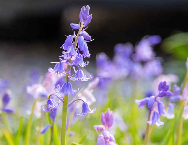 Bluebells, ideal for forest subgrowth