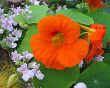 Nasturtium, a cute climbing flower