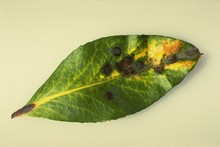 Strawberry tree leaf spot