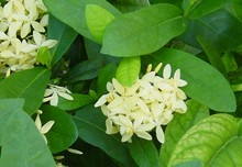 1247047190clerodendron
