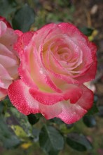 Grand Siècle rose