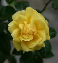 Golden Fashion Rose