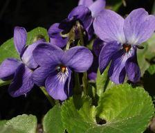 Violet, a superb colored flower