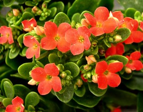 Kalanchoe, how to support its blooming
