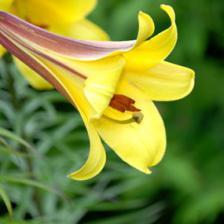 Hemerocallis, an exceptional perennial
