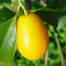 Kumquat, a tiny original citrus