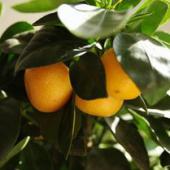 Indoor orange tree, ideal for apartments