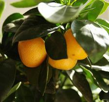 Indoor orange tree, ideal for apartments
