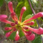 Flowering honeysuckle