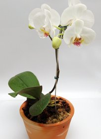 orchidee rempotage