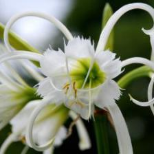 Spider lily, a bulb plant to discover