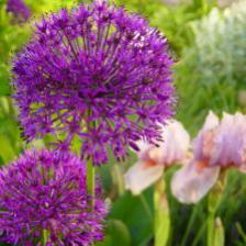 Ornamental onion, a very ornamental perennial