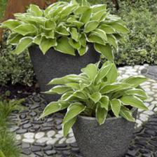 Hosta, a plant for shade