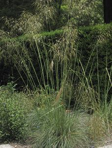 Giant feather grass, advice on caring for it