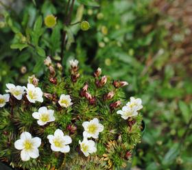 Saxifrage, advice on caring for it
