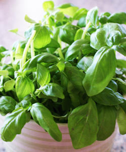 Potted basil for terraces, balconies, decks and indoors, too