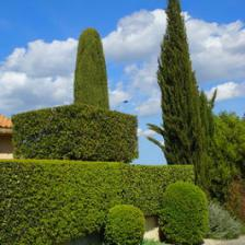 Leyland cypress, the king of hedges