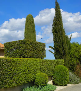 Leyland Cypress The King Of Hedges