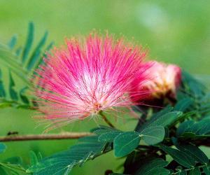 Calliandra, a delicate plant