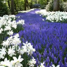 Grape hyacinth, cute little blooms