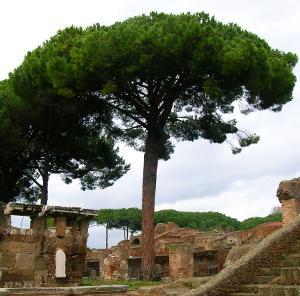Stone pine, a majestic conifer
