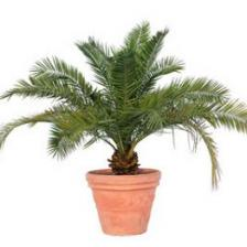 Pygmy date palm, a true indoor palm tree