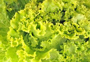 Escarole, resists cold weather well